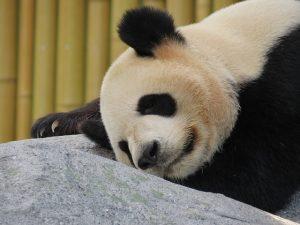 fakta hewan : penyebab panda raksasa terancam punah