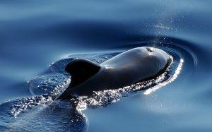 fakta hewan : bagaimana cara mamalia laut menyusui anaknya?