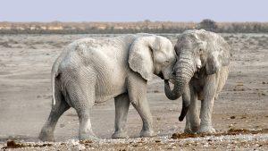 Arti peribahasa gajah bertarung sama gajah, pelanduk mati di tengah-tengah