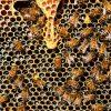 30 Fakta Lebah Madu : Sangat Tidak Disangka!