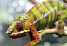 chameleon-2653076_640
