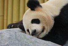 panda-1645495_640