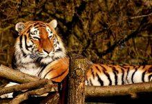 tiger-3161260_640