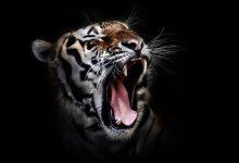 tiger-655593_640